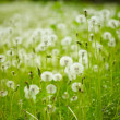 Field of dandelions — Stock Photo #30423295