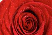 Rosa vermelha com gotas de água — Foto Stock