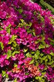 Bougainvillea-blüten — Stockfoto