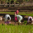 Rice plantations — Stock Photo