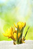Yellow crocusse — Stock Photo