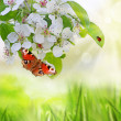 Stock Photo: Apple blossoms in spring
