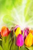 Spring garden, tulips - beautiful spring flowers — Stock Photo