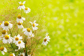 Card with daisy flowers over the bokeh background with place for you text — Stock Photo