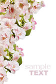 Pink spring blossom border — Stock Photo