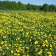 The field of blooming yellow buttercups — Stock Photo