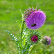 Bee on a flower of a Thistle — Stock Photo