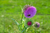 Bee on a flower of a Thistle — Foto de Stock