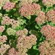 Stock Photo: Sedum garden