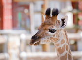 Giraffe - Horizontal Head Shot — Stock Photo