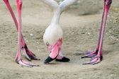 Flamingo pair — Stock Photo