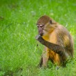 Monkey - Sitting and eating — Foto Stock