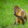 Monkey - Sitting and eating — Foto de Stock