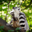 Ring-tailed lemur with two babys — Stockfoto