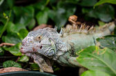 Monitor lizard — Stock Photo