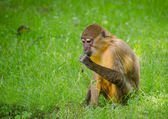 Monkey - Sitting and eating — Stock Photo