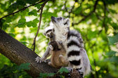Ring-tailed lemur with two babys — Foto Stock