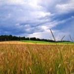 Wheat field panorama view — Stock Photo