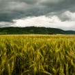 Wheat field with dramatic sky — 图库照片