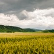 Wheat field panorama view — Stock Photo #27741477