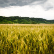 Wheat field with dramatic sky — Stockfoto