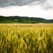 Wheat field with dramatic sky — Lizenzfreies Foto