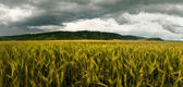 Wheat field with dramatic sky — Stock Photo