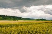 Wheat field panorama view — Stok fotoğraf