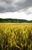 Wheat field with dramatic sky — Stok fotoğraf