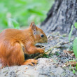 Red Squirrel Eating a Nut - Foto Stock