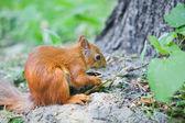 Zrzavá veverka jíst ořech — Stock fotografie