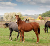 Horse farm scene — Stock Photo