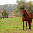 Stock Photo: Brown horse in pasture