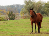 Brown horse in pasture — Stock Photo