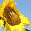 Summer scene with bee and sunflower — Video Stock