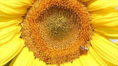 Bee on sunflower — Stock Video