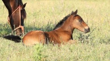 Horse brown foal lying in pasture — Stockvideo