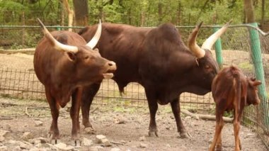 Ankole watusi bull cow and calf — Stock Video