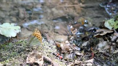 Fjäril står nära vatten — Stockvideo
