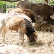 Stock Video: Farm scene with podolian calf and cow