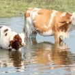 Cow and calf — Stock Video