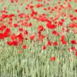 Stock Video: Field with green wheat and poppy flowers