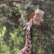 Stock Video: Giraffe zoo scene