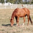 Stock Video: Brown horse grazing farm scene