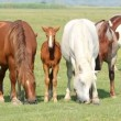 Stock Video: Horses and foals in pasture