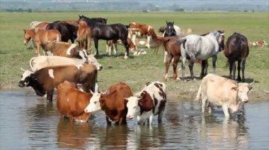 Farm animals on river spring scene — Stock Video