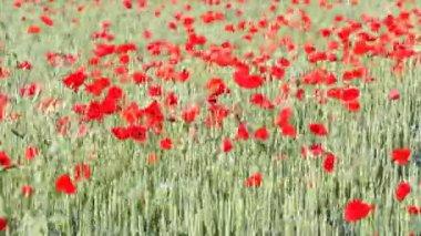 Pole s zelená pšenice a mák květiny — Stock video