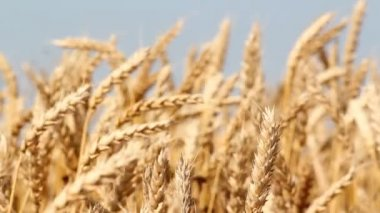 Golden wheat field summer season — Stock Video