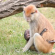 Stock Video: Mother monkey holding her baby
