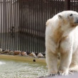 Polar white bear — Stock Video